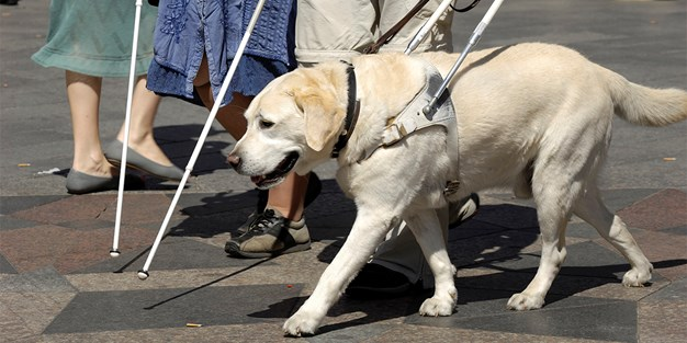 A guide dog . Photography