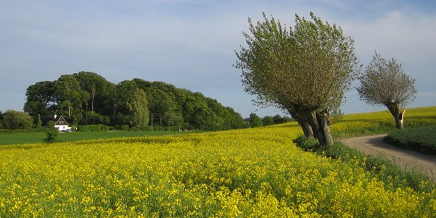 Rapeseed field in southern Sweden. Photo